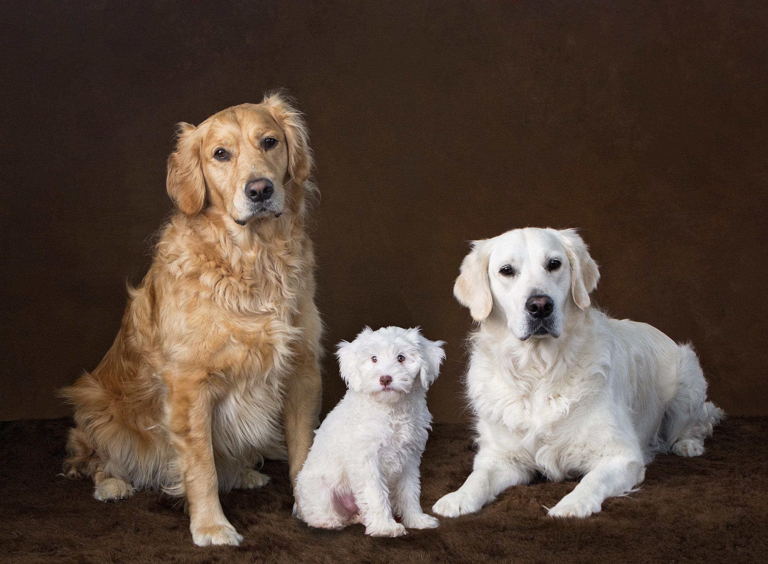 Dog Photography Pet Photographer St. Louis .jpg