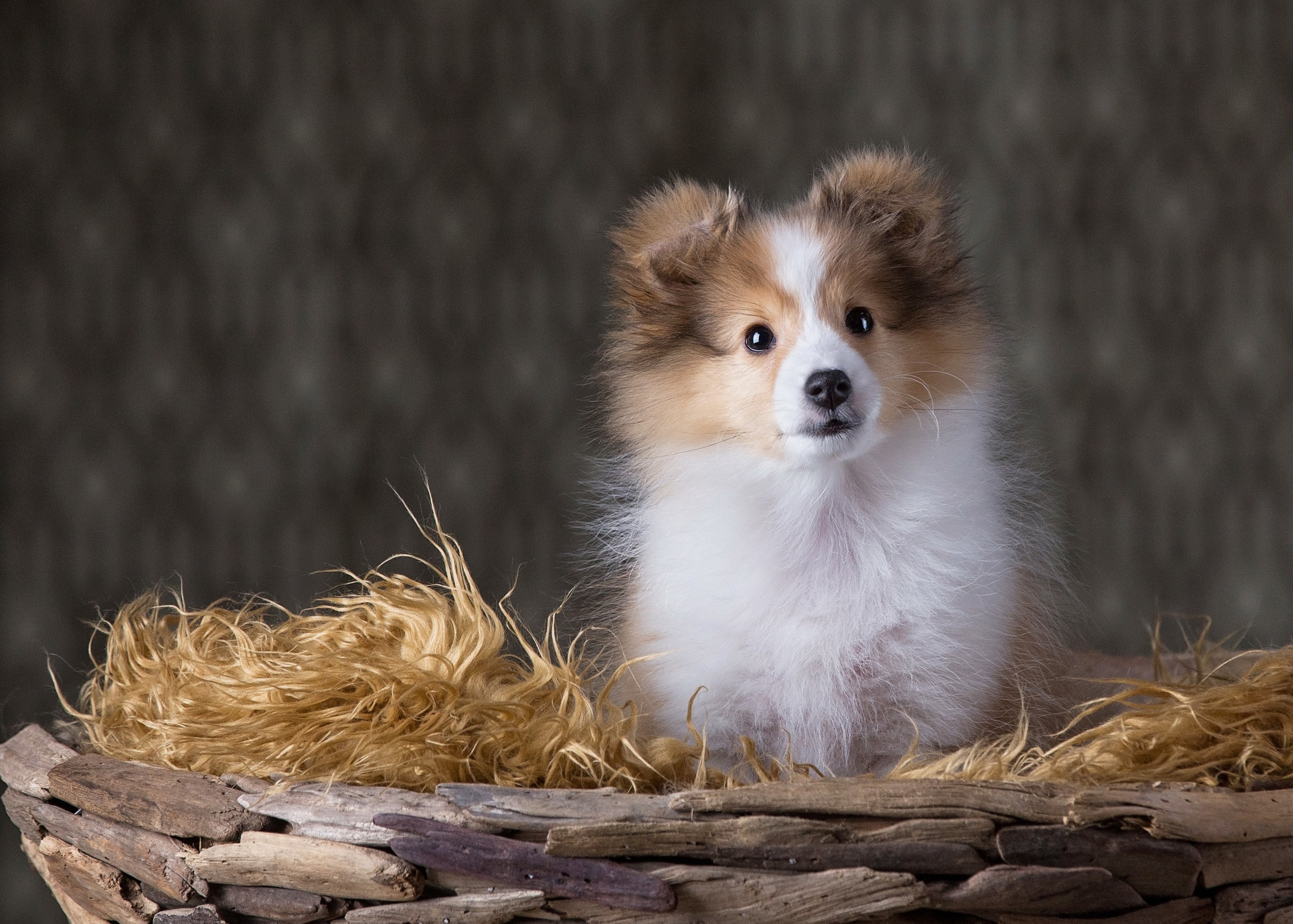 Puppy Dog Photography St. Louis Ballwin.jpg