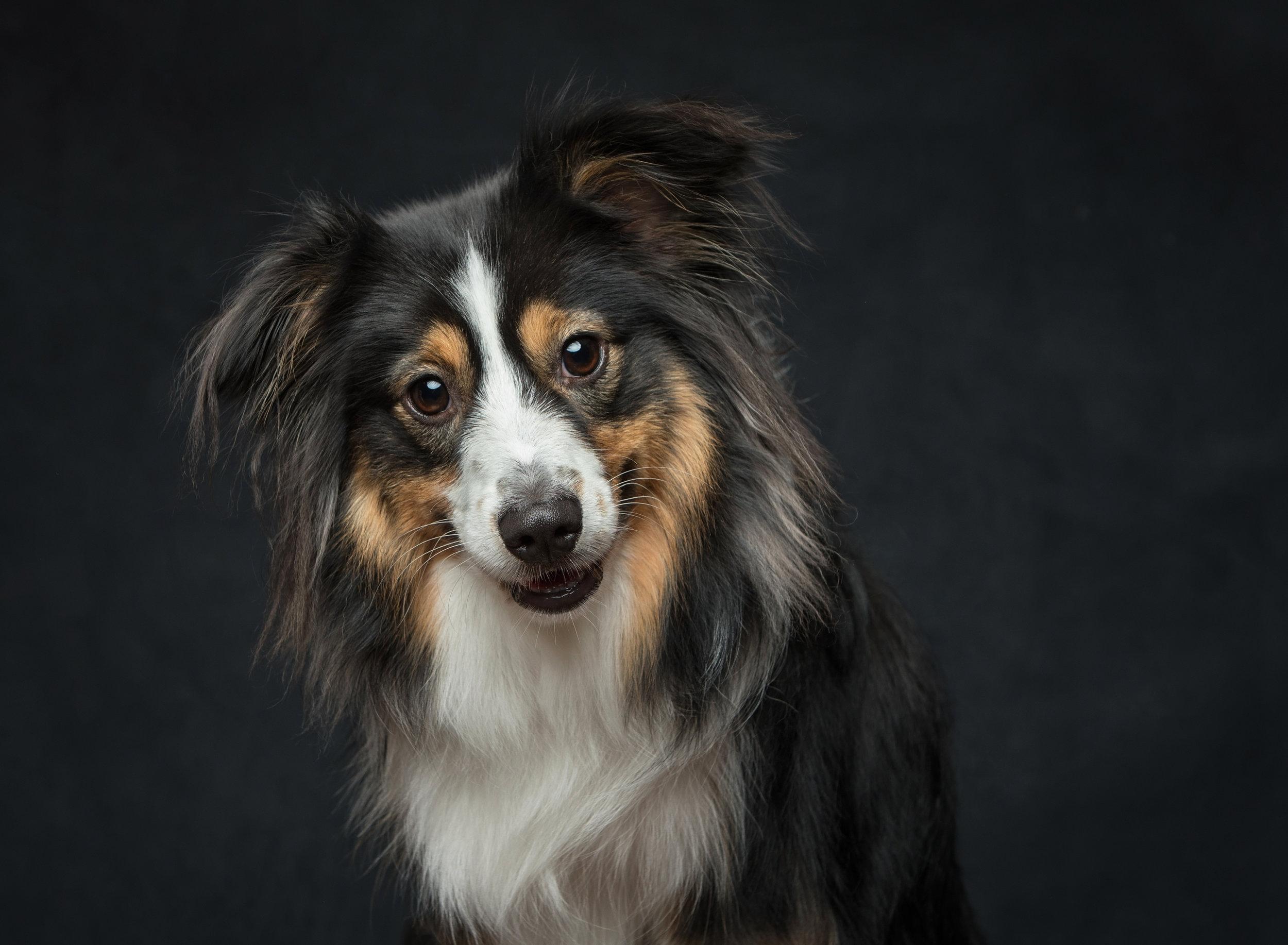 St. Louis Pet Photographer Dog Photography.jpg