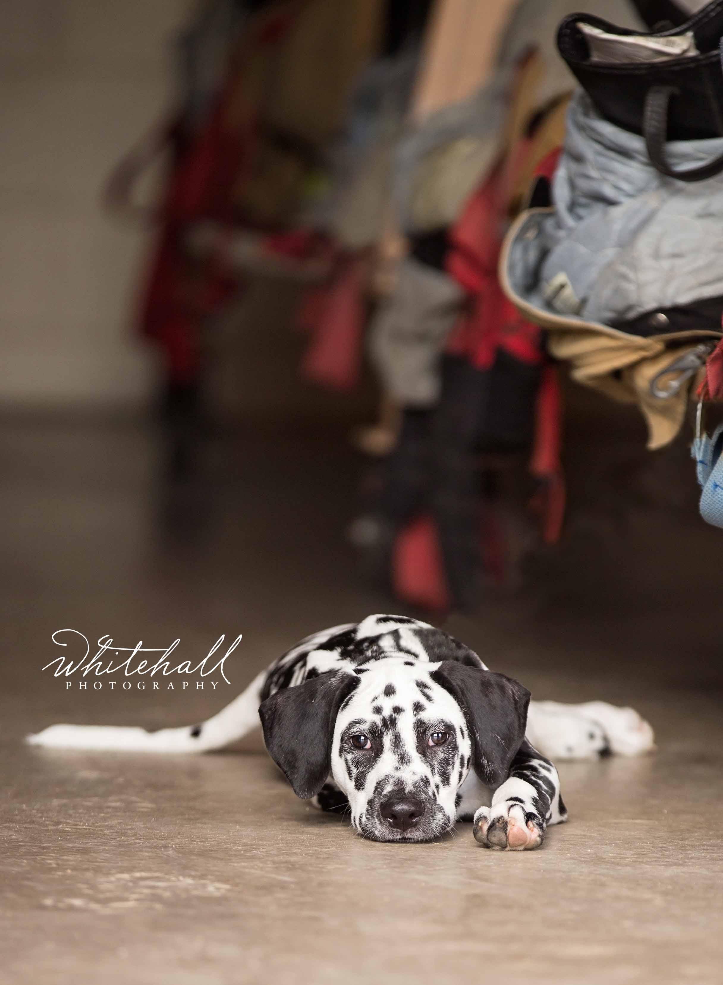 St-Louis-Dog-Photographer-01 (2).jpg