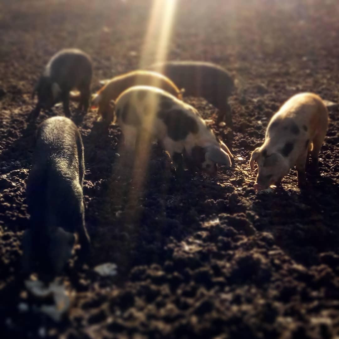 piglets.jpg