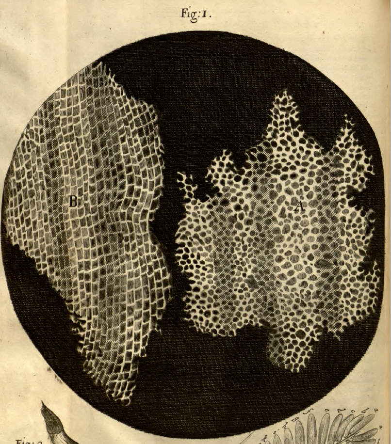 Robert Hooke's drawing of Cork from page 144 - (N.B. p.158 of the PDF)
