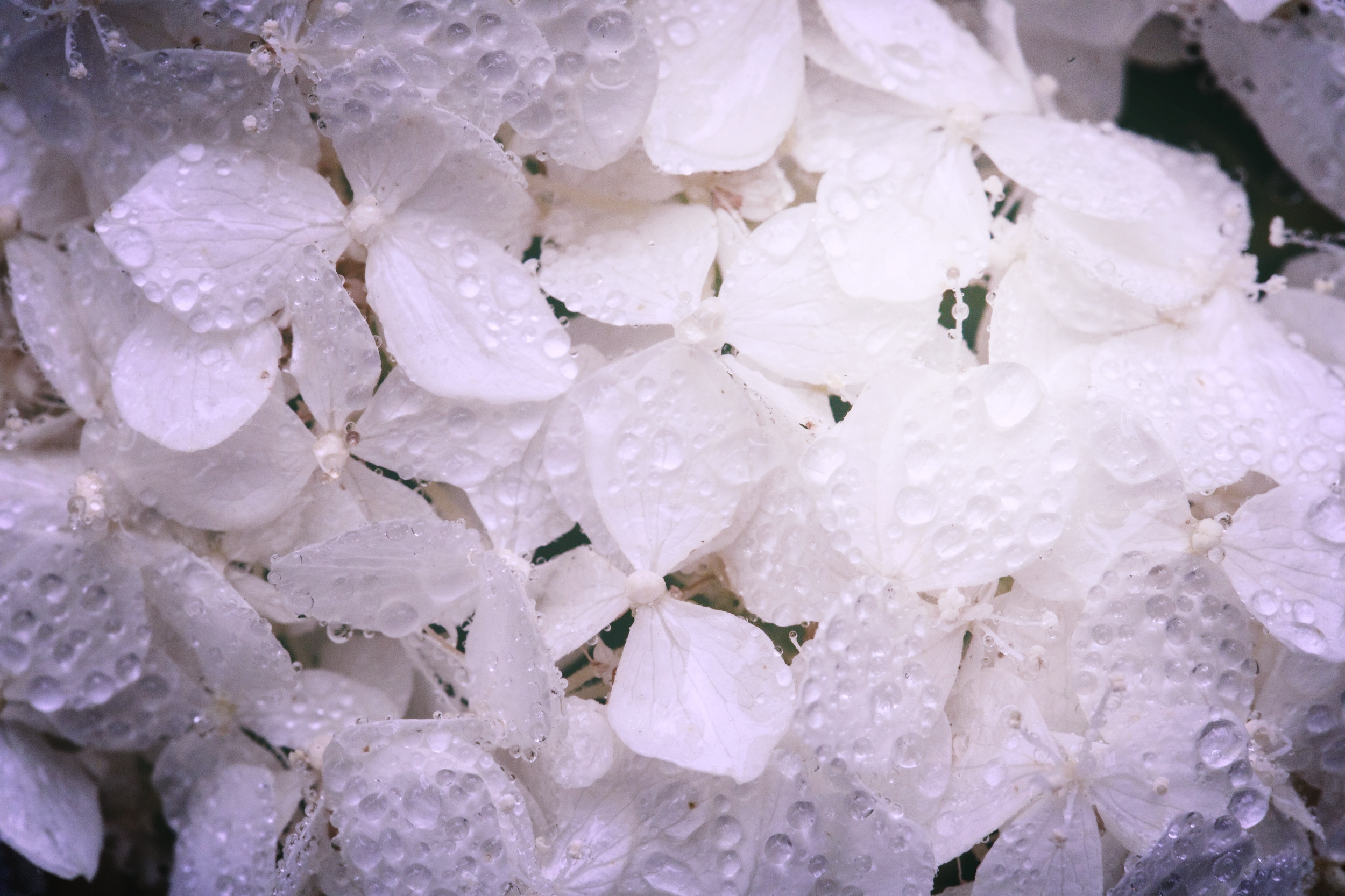 white-hydrangea-blossoms-with-water_4460x4460.jpg