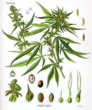 440px-Cannabis_sativa_Koehler_drawing.jpg