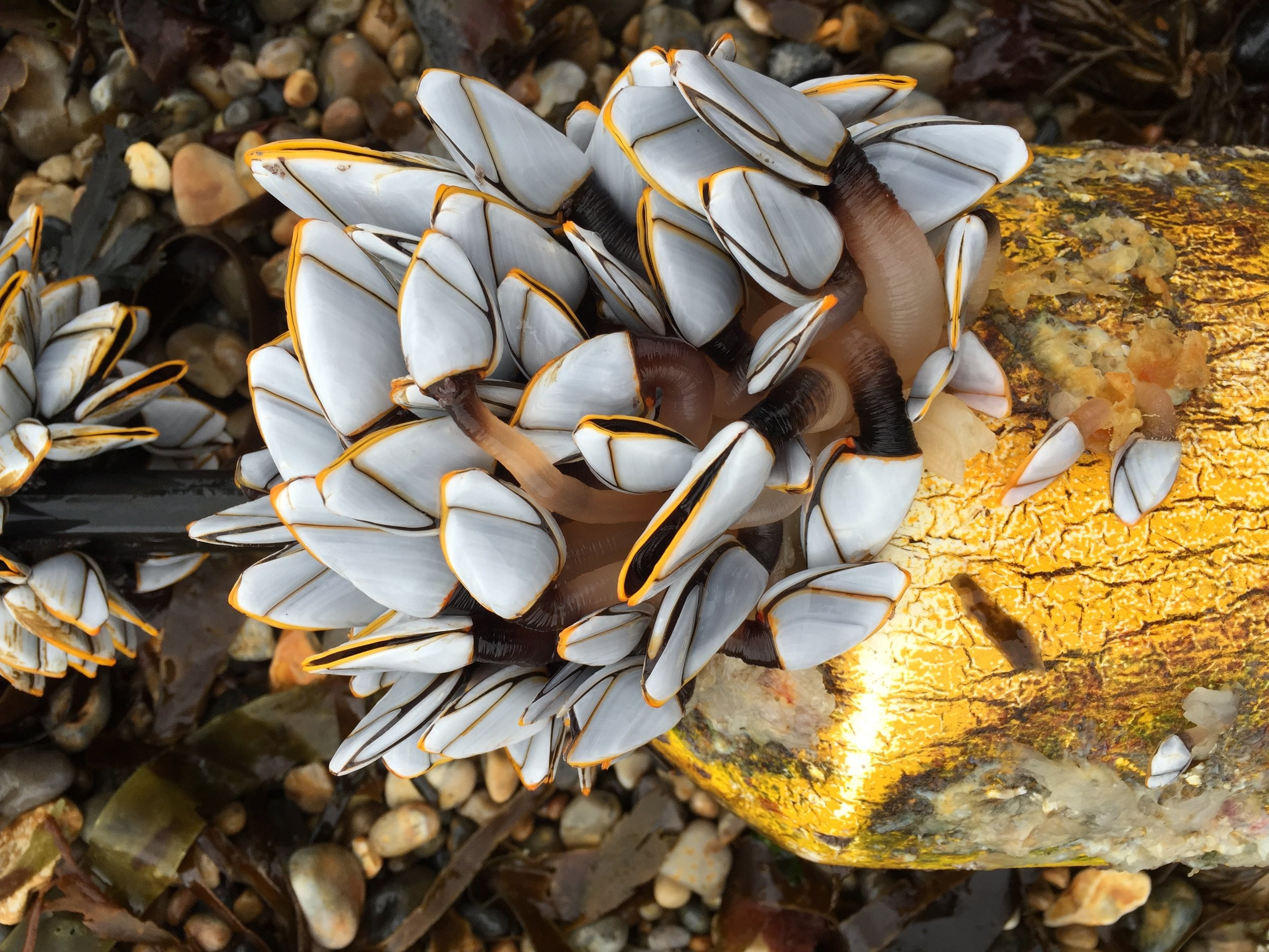 Goose Barnacles, 2015, digital photograph