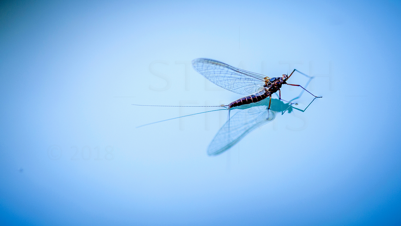 Mayfly 2-1500_W.jpg