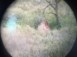 Lion sighted! I captured this photo by placing binoculars in front of my iPhone.