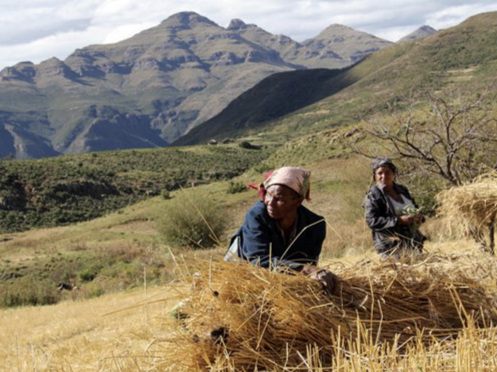 Rural village women harvest a mountainside wheat crop.