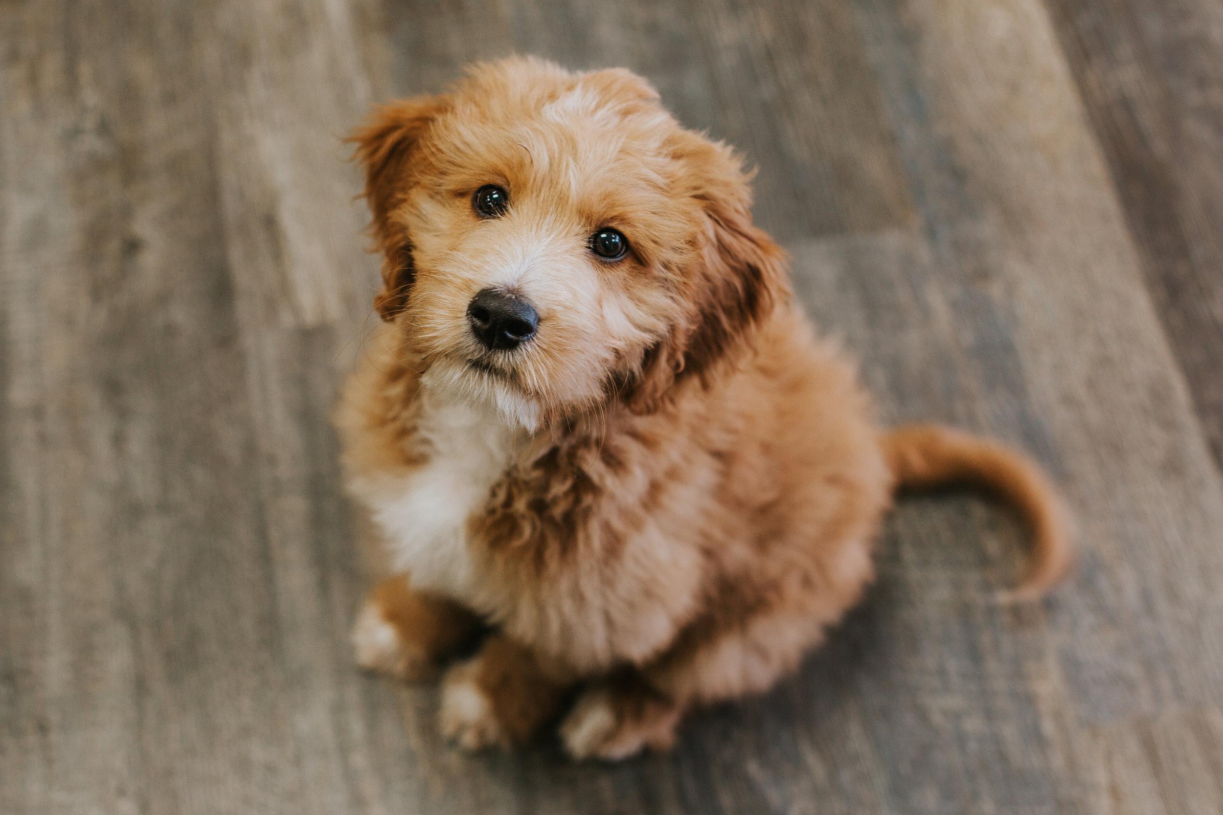 Jco-Natural-Pet-Eugene-Oregon-Goldendoodle-Puppy.jpg