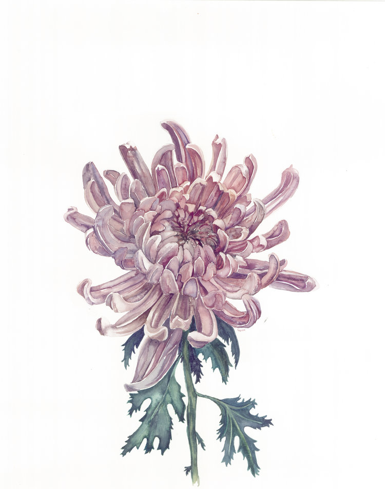Chrysanthemum watercolor  | ampersandmother.com