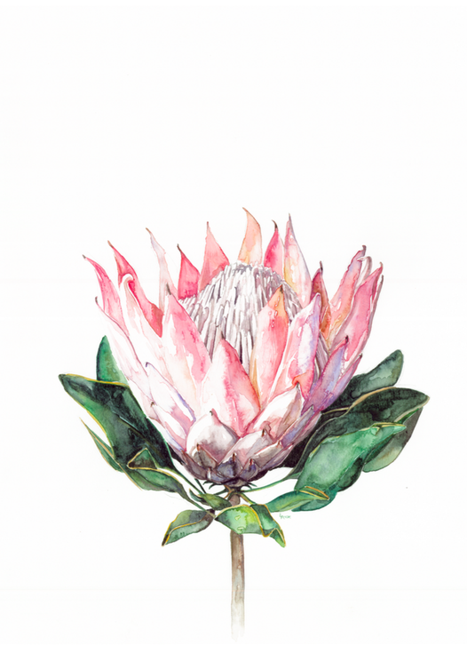 king protea watercolor | ampersandmother.com