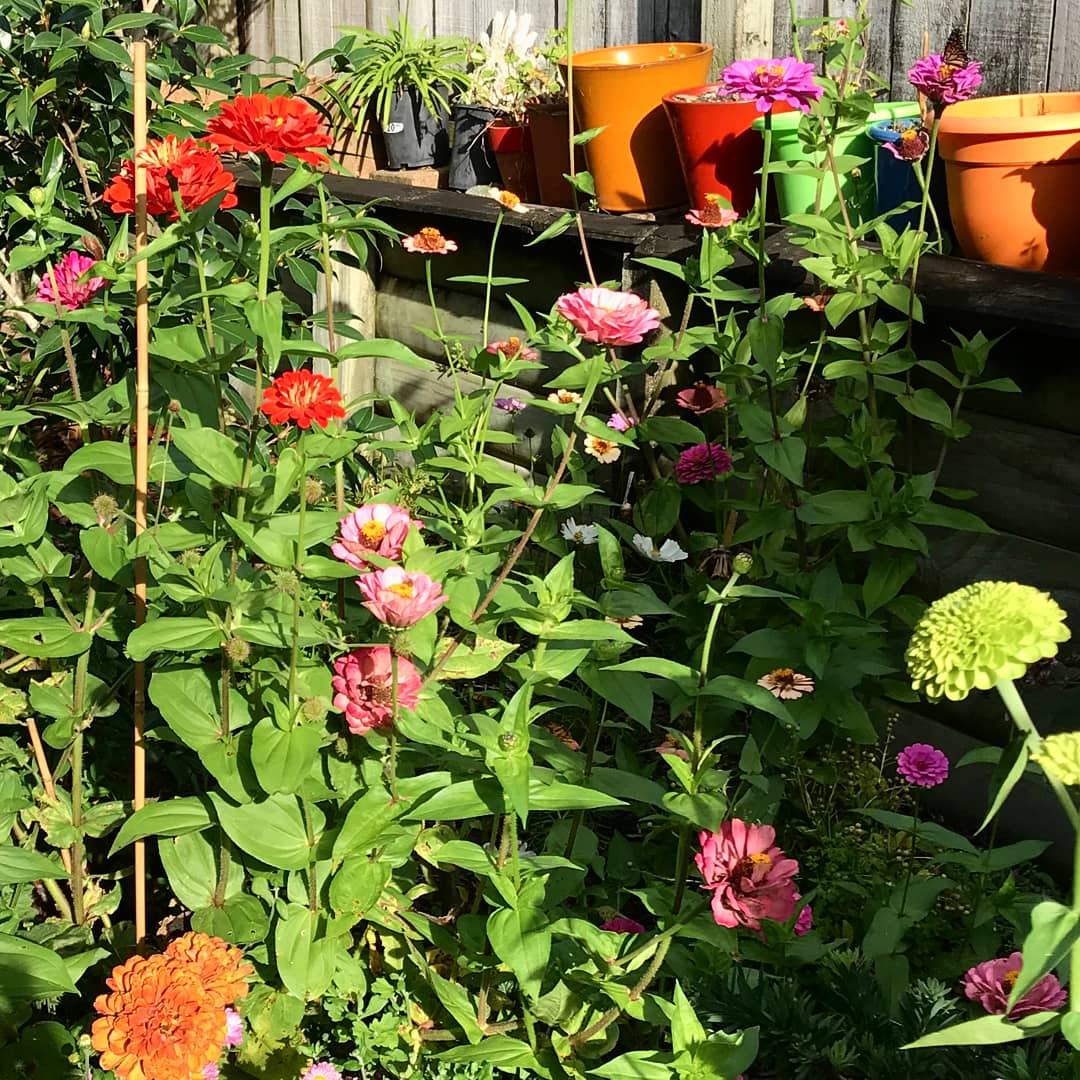 Zinnia's flourishing in the garden belonging to Complete Landscape's very own Judy! Photo CC:  Our Instagram