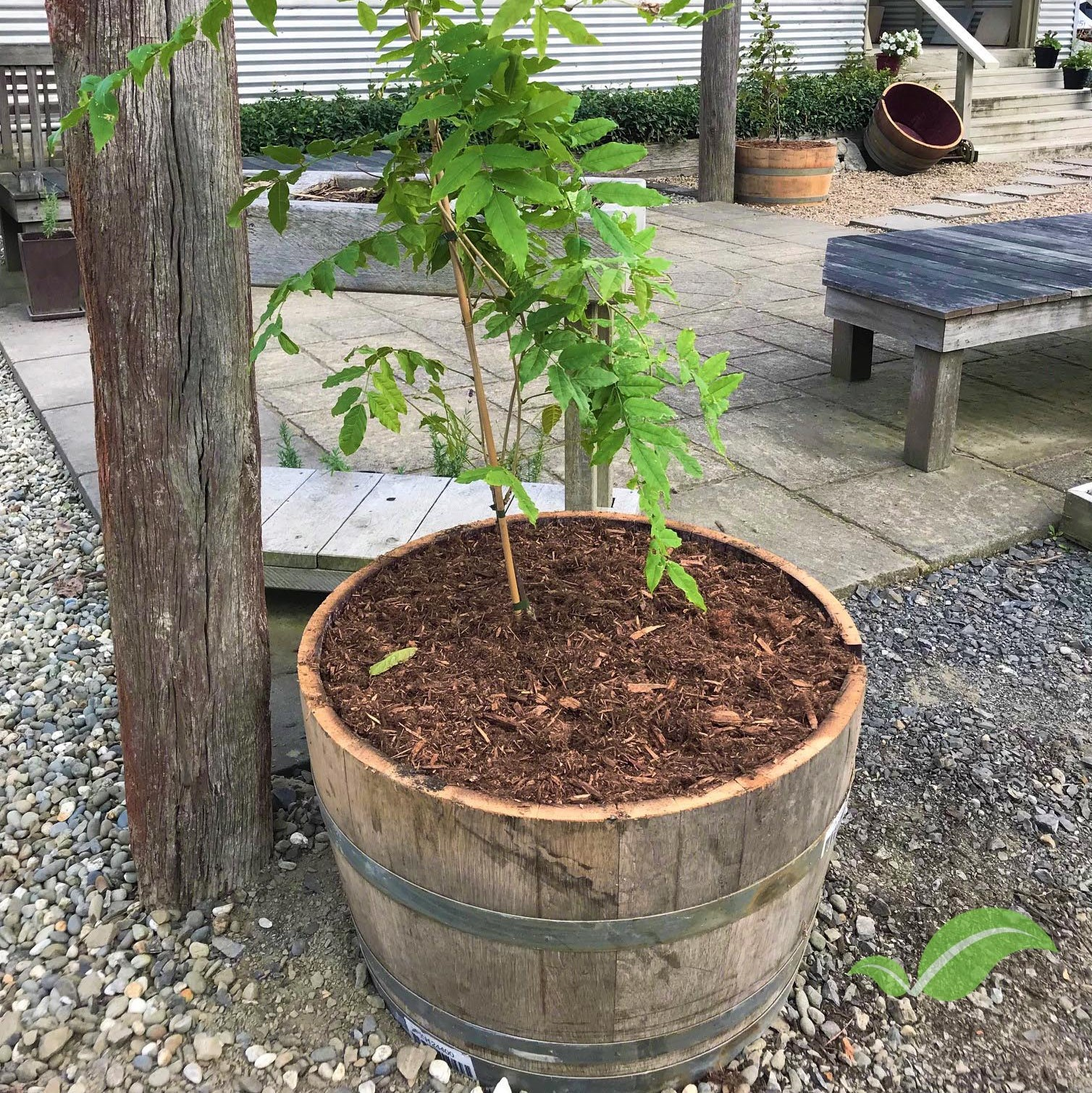 A Wisteria tree planted in one of  our half wine barrels  outside the Complete Landscapes office.