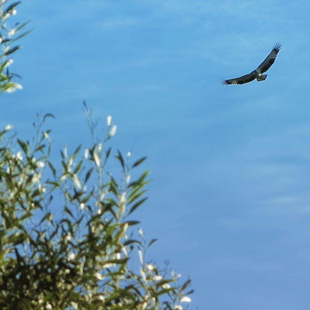 White-bellied Sea Eagle #naturetrackers #sistersbeach #sistersbeachcommunity #wynyardandsurrounds #discovertasmania