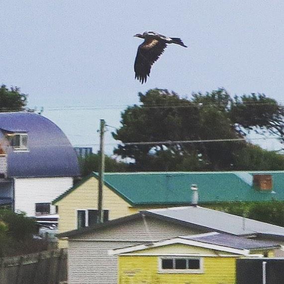 Eagle flying along Irby Boulevard tonight #naturetrackers #sistersbeach #wynyardandsurrounds #tasmaniasnorthwest #rockycapenationalpark #sistersbeachcommunity