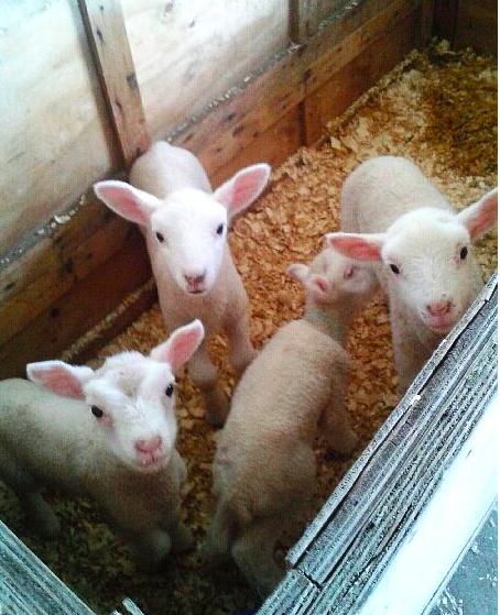 Newborn lambs at the Waupoos Winery petting zoo.