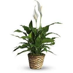 Spathiphyllum  Modulo HOH: vaso 7-10 cm  Modulo HUB: vaso 9-14 cm