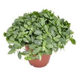 Fittonia  Modulo HOH: vaso 7-10 cm  Modulo HUB: vaso 9-14 cm