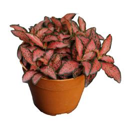 Fittonia Rossa  Modulo HOH: vaso 7-10 cm  Modulo HUB: vaso 9-14 cm