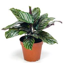Calathea  Modulo HOH: vaso 7-10 cm  Modulo HUB: vaso 9-14 cm