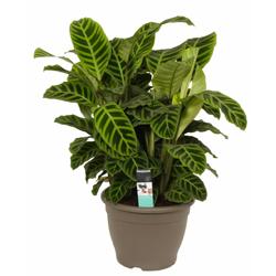 Calathea Zebrina  Modulo HOH: vaso 7-10 cm  Modulo HUB: vaso 9-14 cm