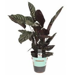 Calathea Ornata Sanderina  Modulo HOH: vaso 7-10 cm  Modulo HUB: vaso 9-14 cm