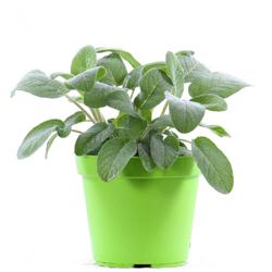 Salvia  Modulo HOH: vaso 7-10 cm  Modulo HUB: vaso 9-14 cm