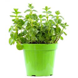 Menta  Modulo HOH: vaso 7-10 cm  Modulo HUB: vaso 9-14 cm