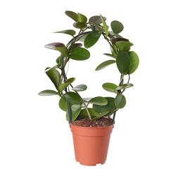 Hoya  Modulo HOH: vaso 7-10 cm  Modulo HUB: vaso 9-14 cm