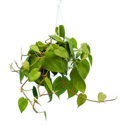 Philodendro Scadens  Modulo HOH: vaso 7-10 cm  Modulo HUB: vaso 9-14 cm
