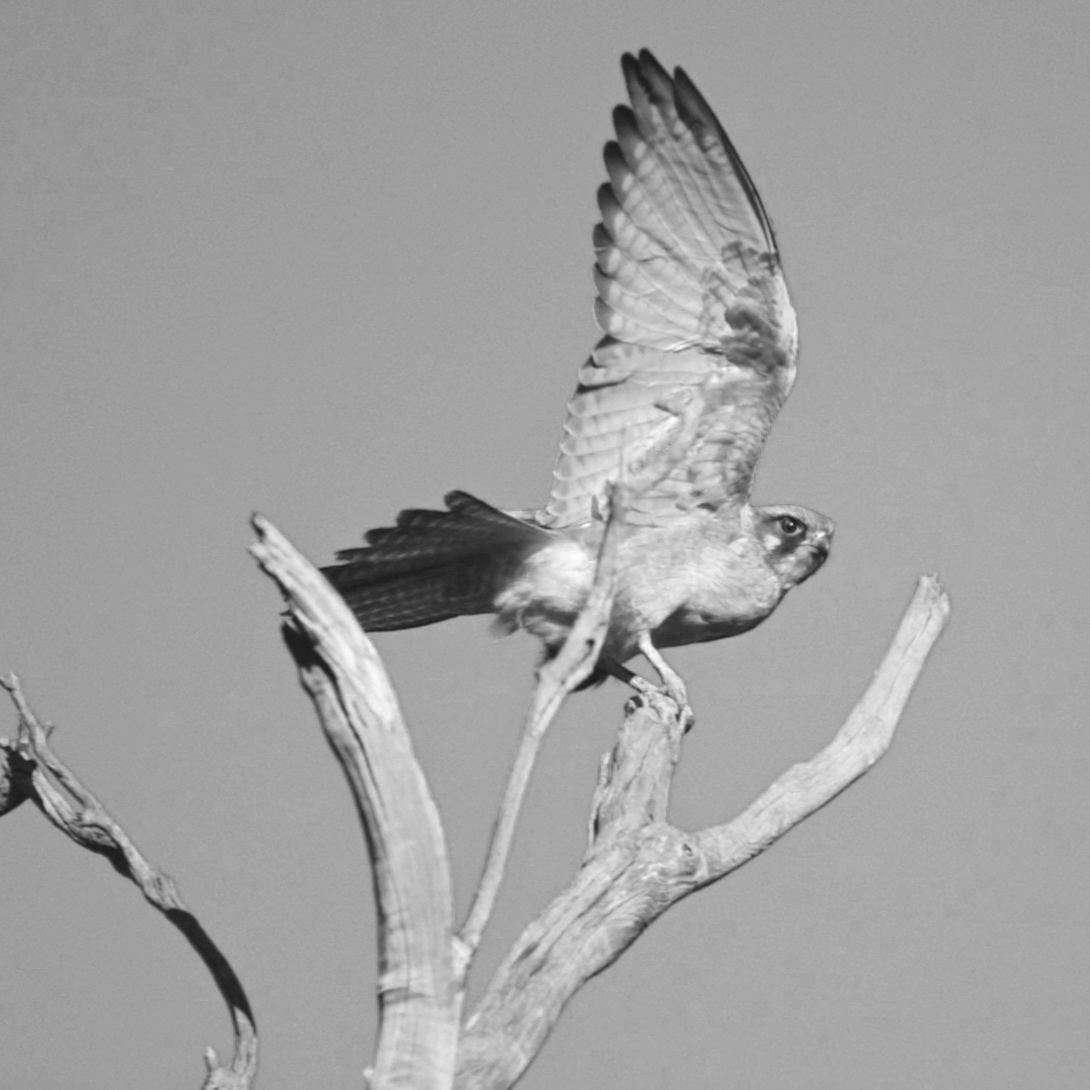 The birds of Wheatbelt for Carbon Neutral film