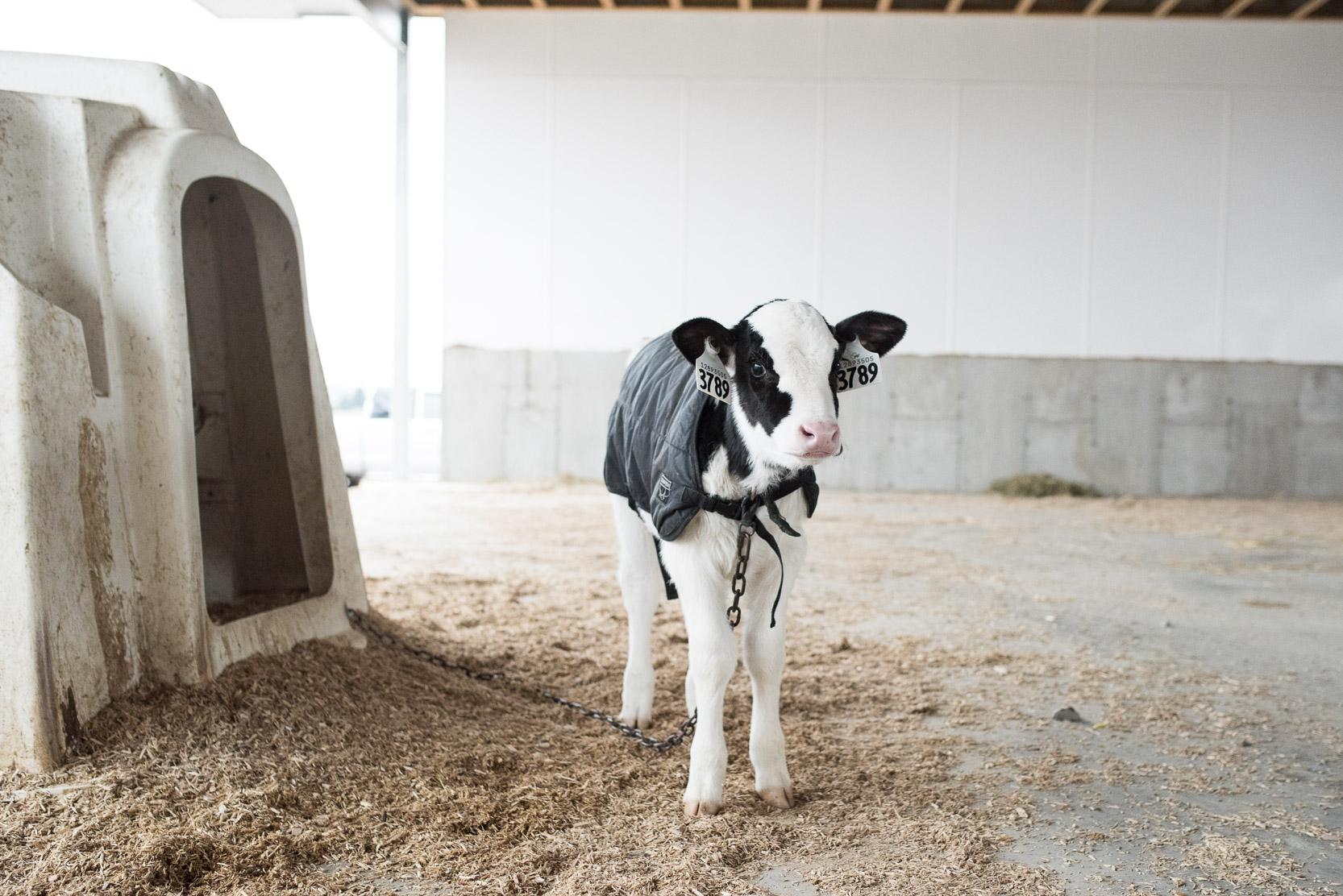 Rideau-Vet-Wintering-Calves-1.jpg
