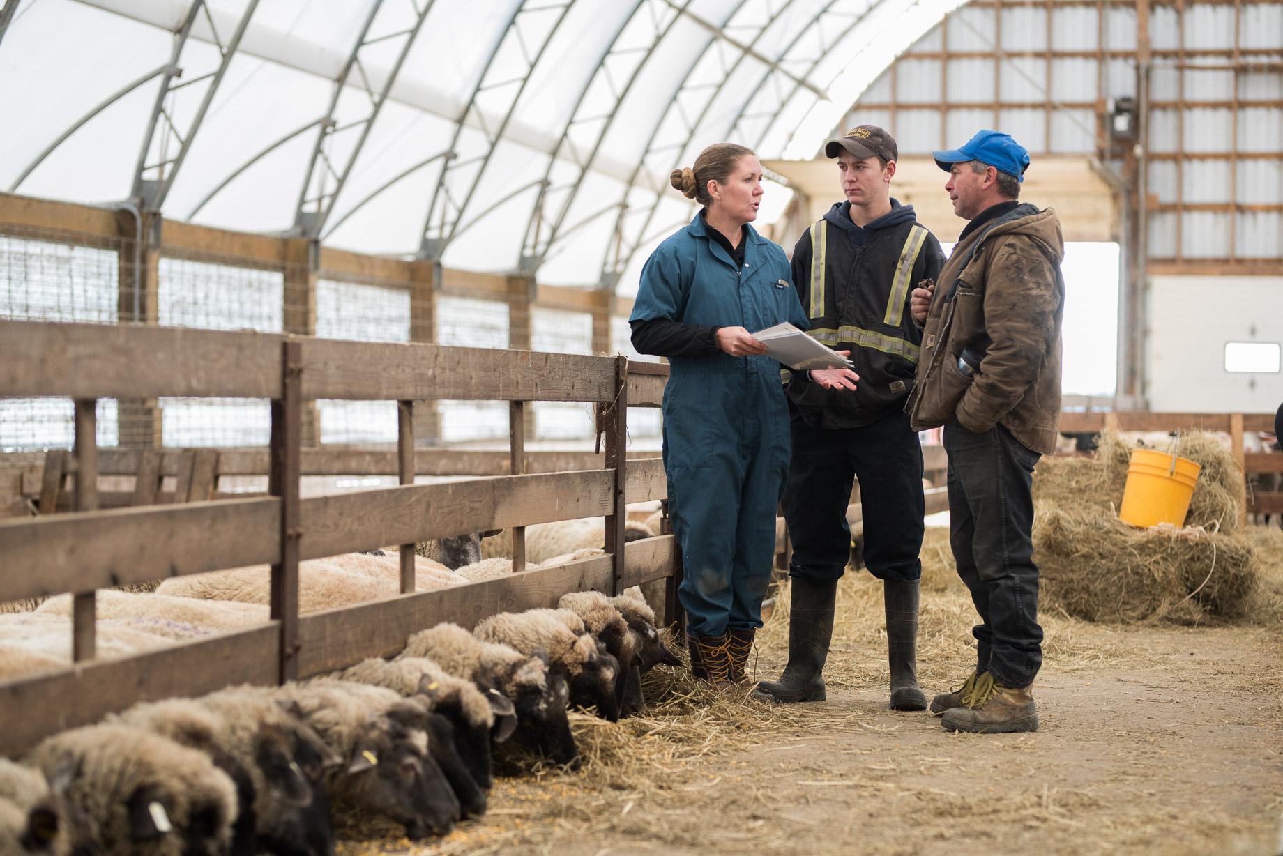 Rideau-Vet-sheep-breeding-2.jpg