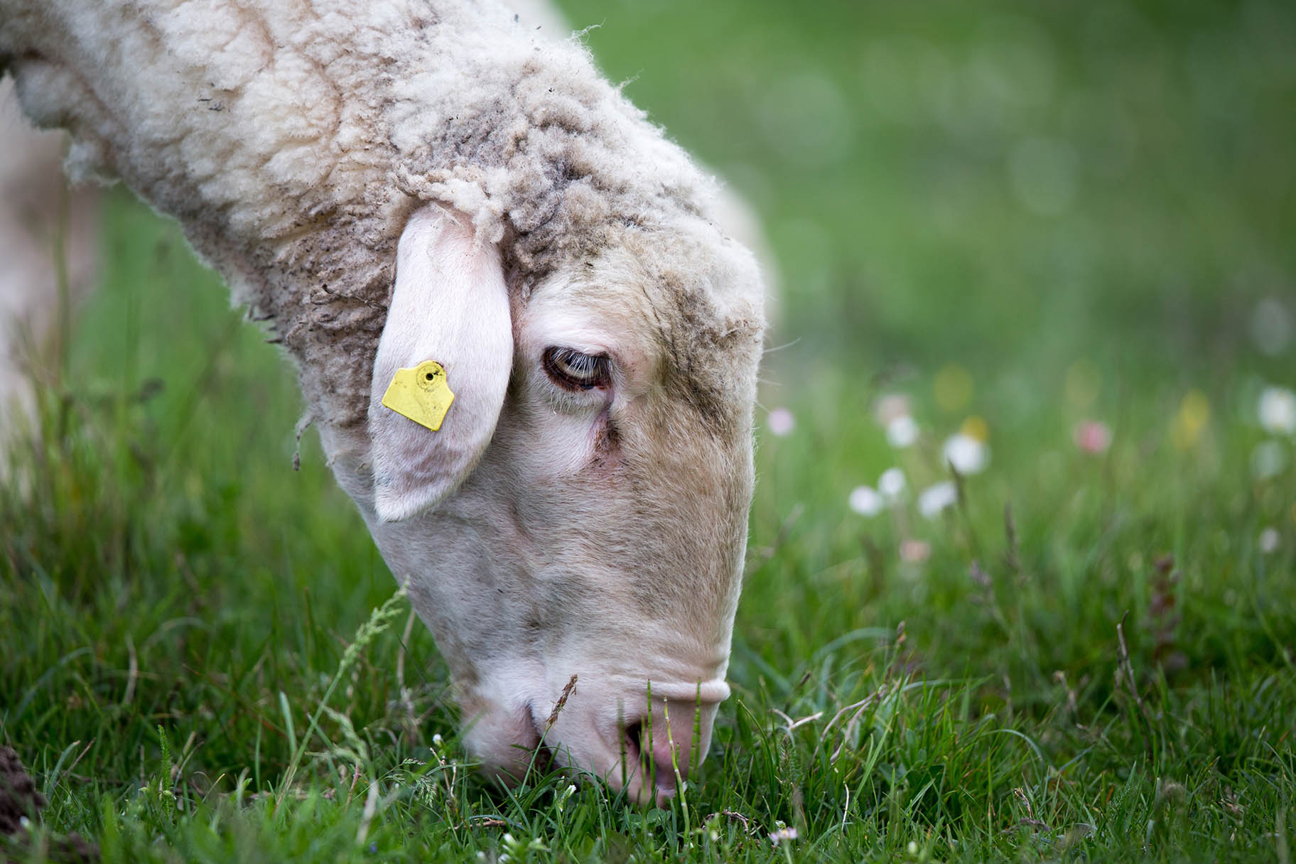 Rideau-Vet-Deworming-Sheep.jpg