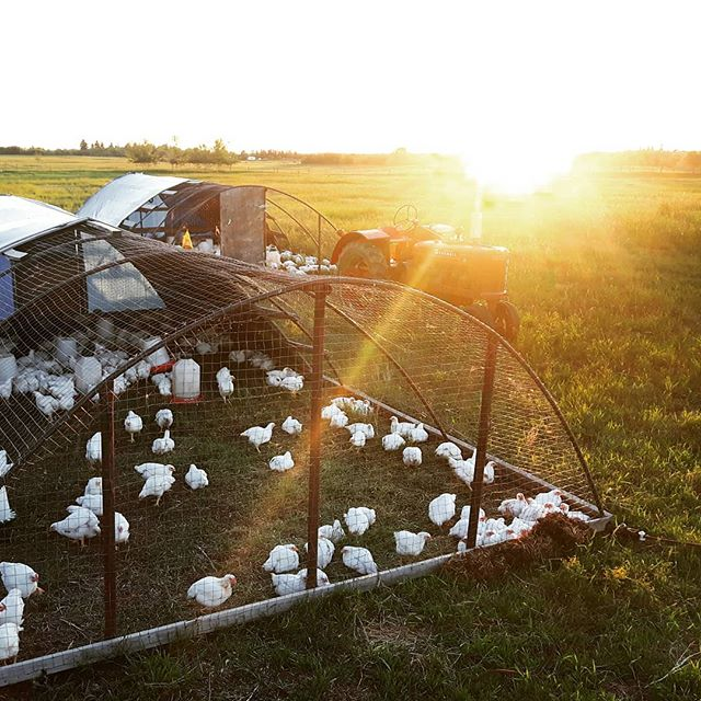 Good night chickens!  These guys are loving being out on pasture, getting lots of sunshine, fresh air, green grass and any other goodies they dig up in the soil.