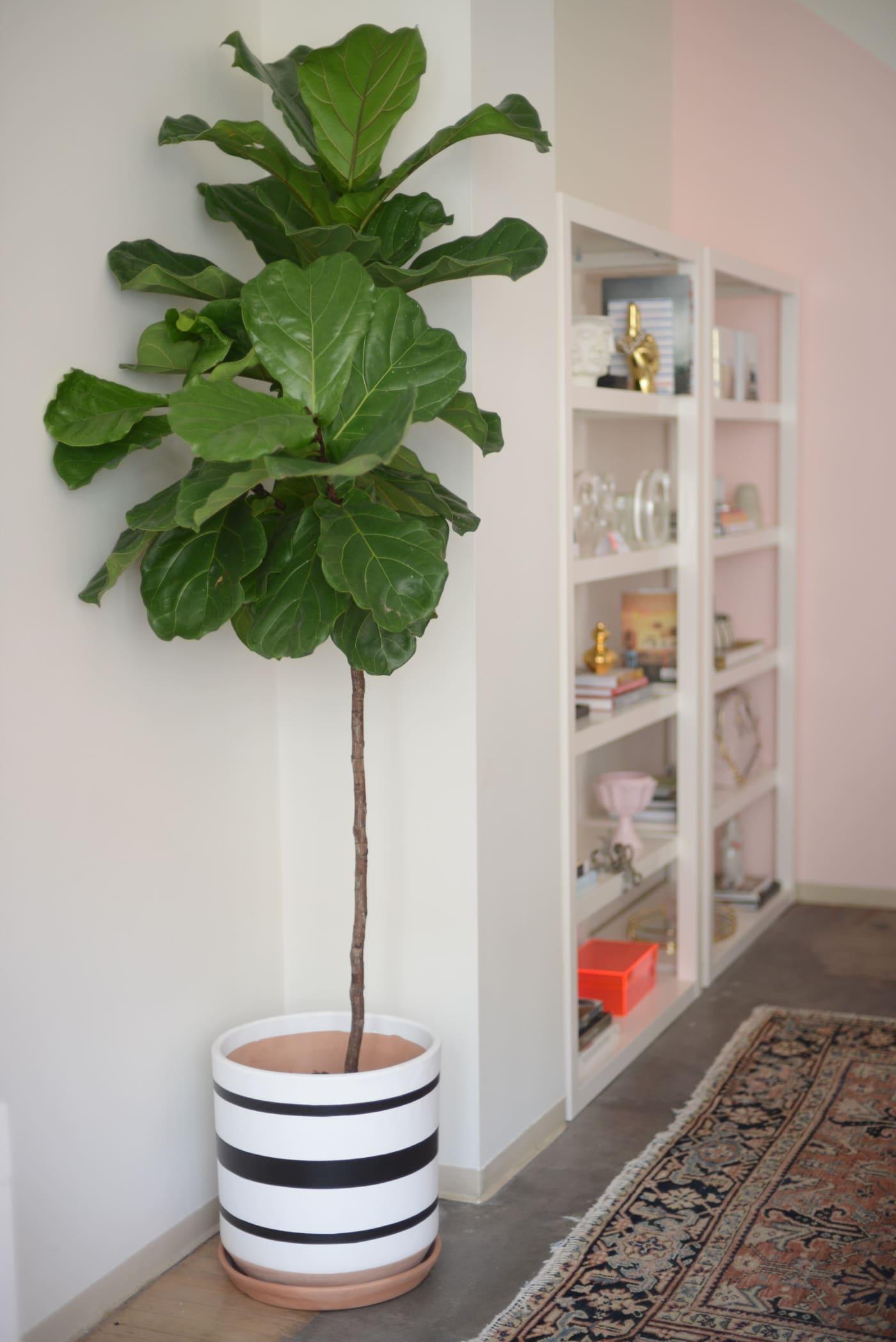 office reveal fiddle leafjpg - O Escritório da Emily Schuman, do Cupcakes & Cashmere