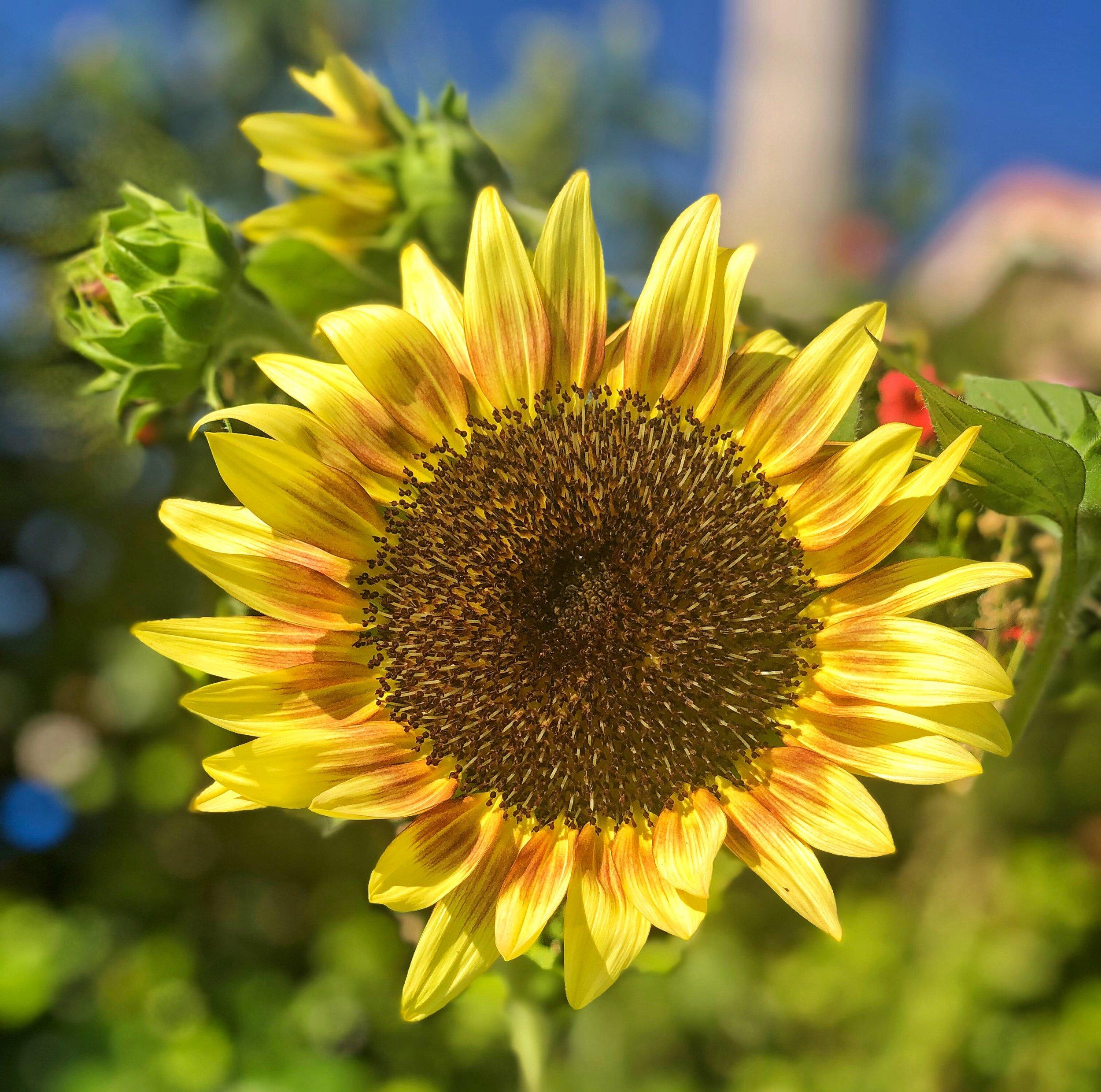 """Ruby Eclipse"" Sunflower"