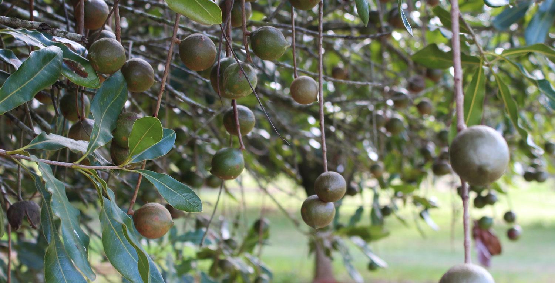 Macadamia_Nut_Tree.jpg