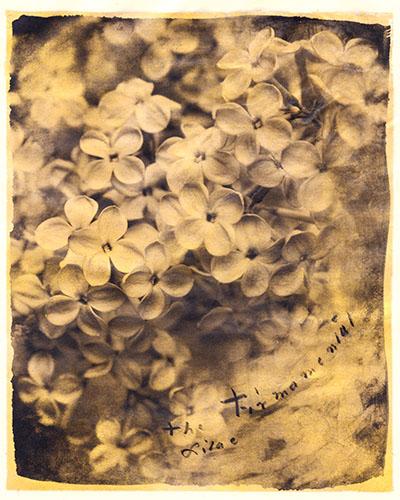 Firmamental Lilac