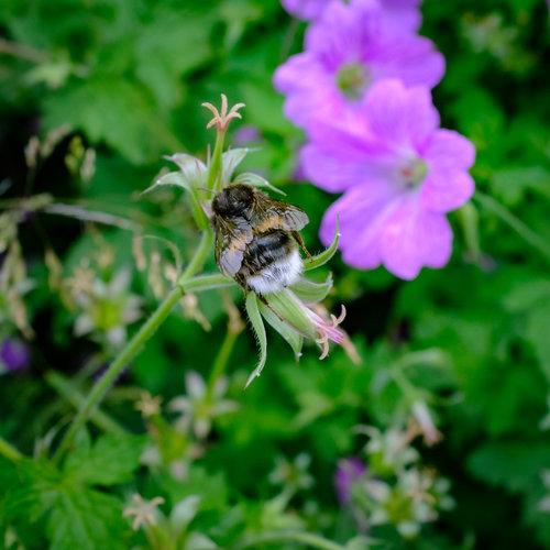 bumble bee — Ray's Blog — Ray Morgan Photography