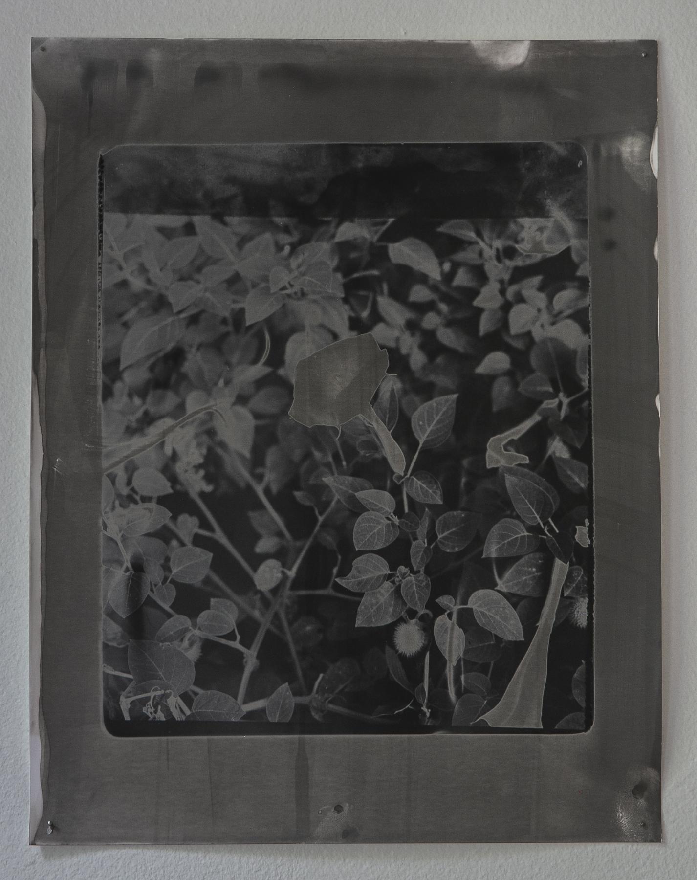 Daniel Hojnacki,  Moon Flower (II),  Silver gelatin print, 2019