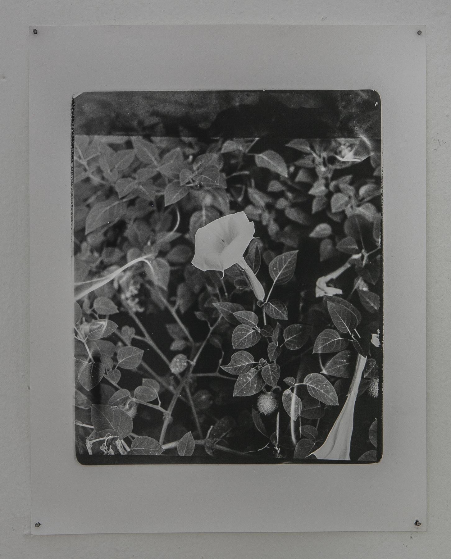 Daniel Hojnacki,  Moon Flower , Silver gelatin print, 2019