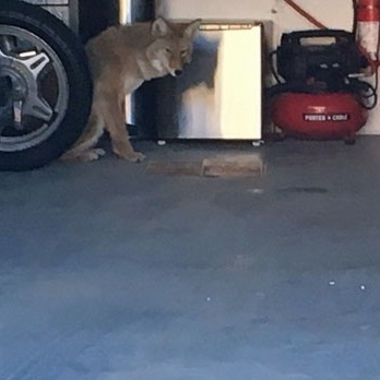 Don't leave your garage door open, or you may find yourself playing host to a rattlesnake or coyote.