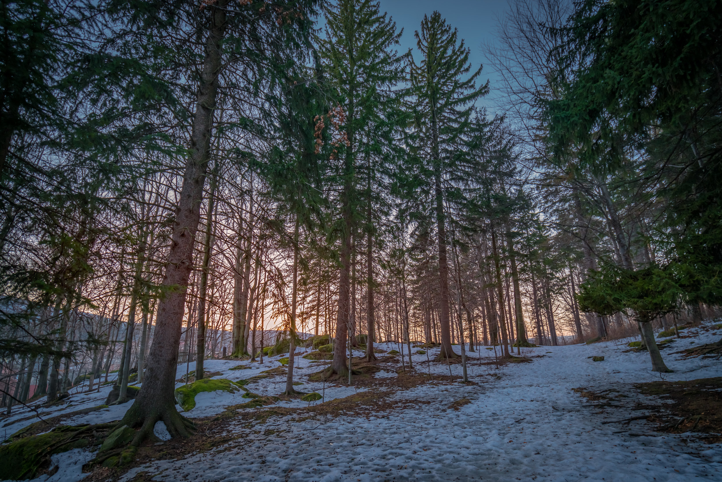 pine-forest-in-winter-PD9BHU9.jpg