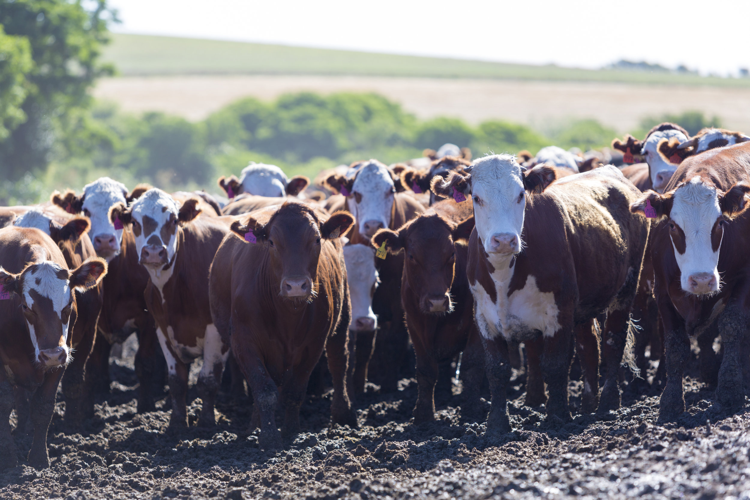 group-of-cows-in-intensive-livestock-farm-land-PG4SMWM.jpg