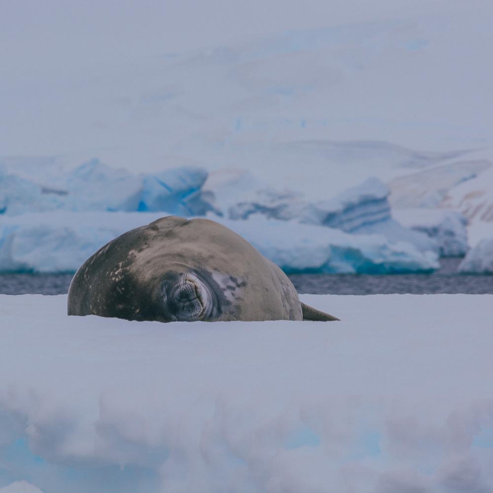 Seals Wildlife