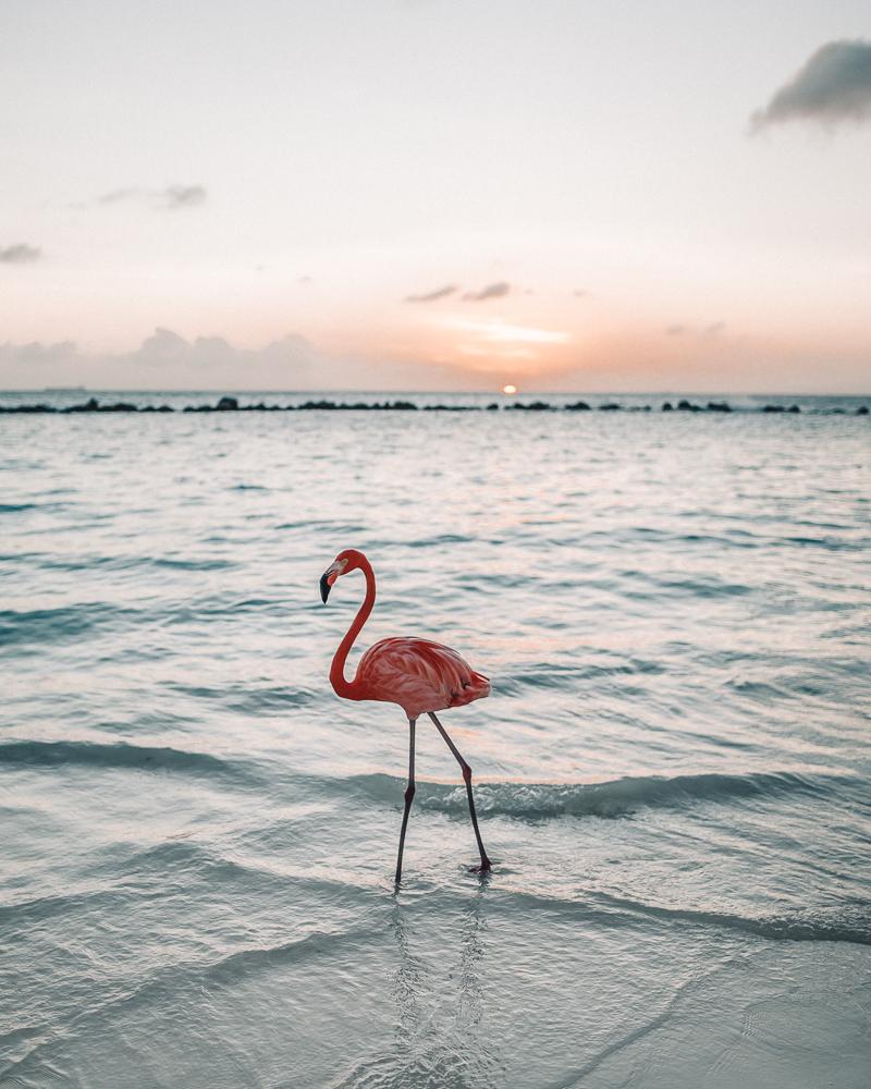 aruba-pink-flamingo.jpg
