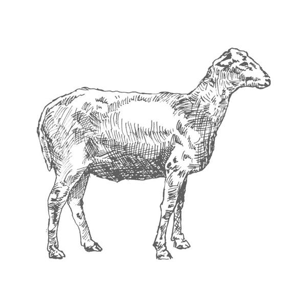 Sheep_03-copy.jpg