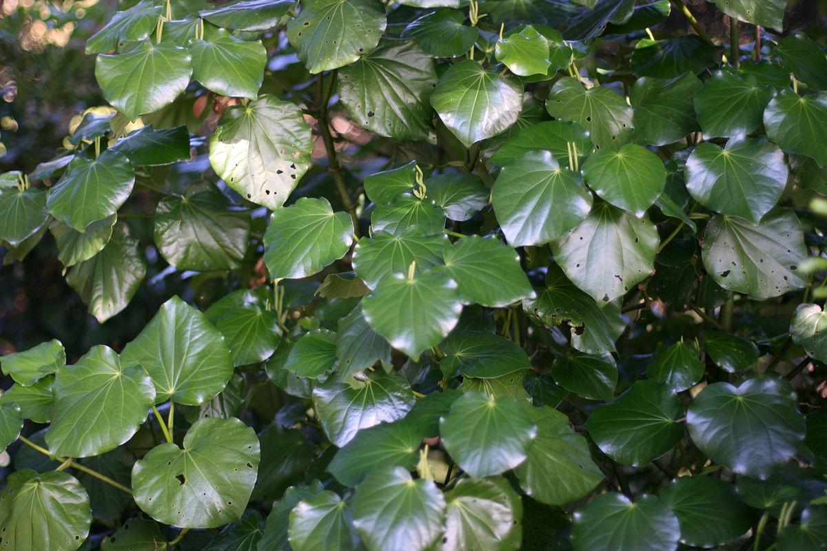 kawakwa plant