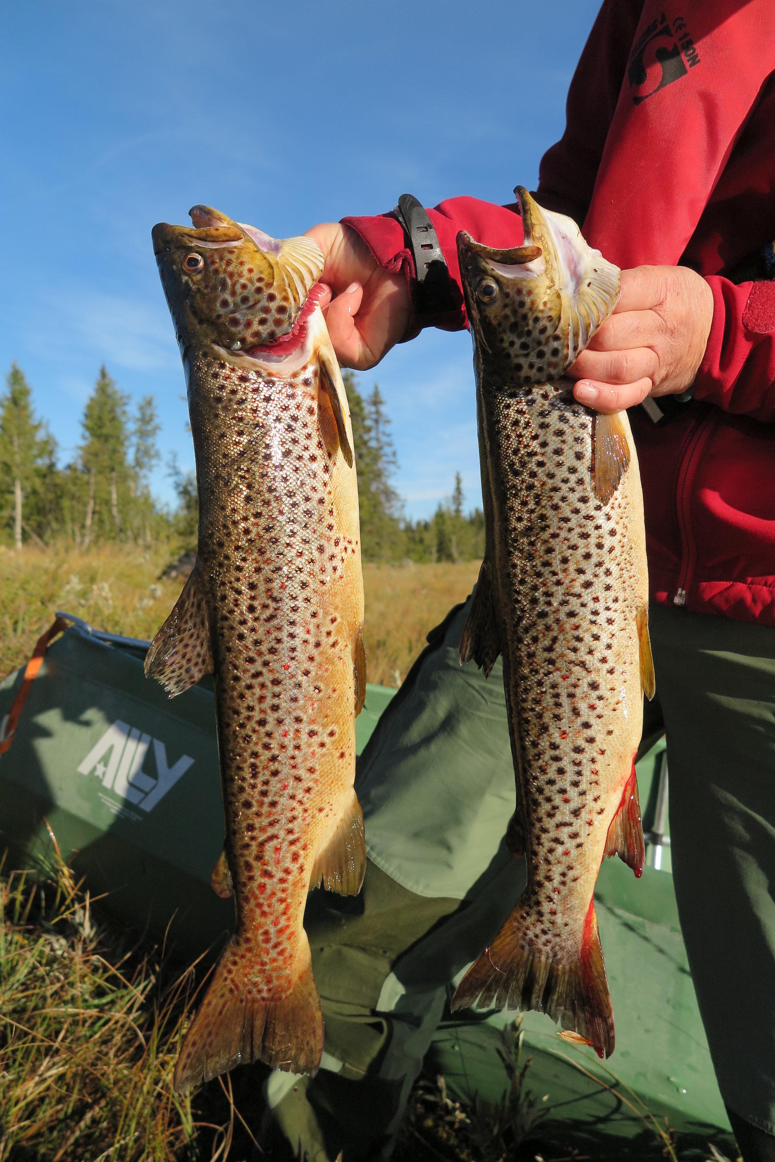 Prøvefiske på Glåmen 2. september 2018